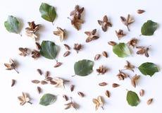 O outono denominou o arranjo botânico Composição de porcas da faia no fundo branco da tabela Conceito decorativo da queda, liso Imagem de Stock