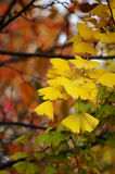 O outono dourado Fotografia de Stock
