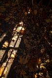O outono dourado, sae na terra na luz brilhante do sol imagem de stock royalty free