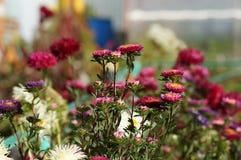 o outono floresce ásteres Imagens de Stock