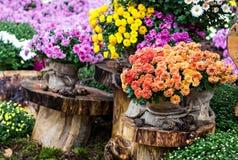 O outono floresce crisântemos Imagens de Stock