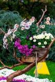 O outono floresce crisântemos Imagens de Stock Royalty Free