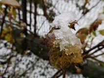 O outono floresce sob gotas e neve da chuva Foto de Stock
