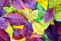 O outono folheia fundo Imagem de Stock
