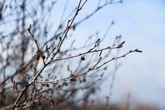 O outono marrom do close-up ramifica sem uma folha, luz - fundo do céu azul foto de stock royalty free