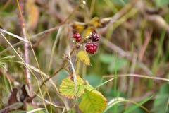 O outono no dia ensolarado, almofada da floresta, secou a planta com baga vermelha Fotos de Stock Royalty Free
