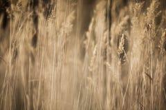 O outono secado remove ervas daninhas do Sepia fotografia de stock royalty free