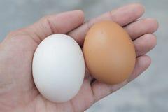 O ovo e o pato da galinha egg em minha mão Foto de Stock