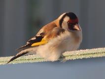 O pássaro é um busardo no selvagem Fotografia de Stock