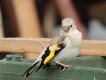 O pássaro é um busardo no selvagem Imagens de Stock