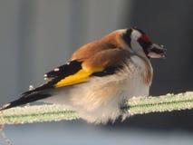 O pássaro é um busardo no selvagem Imagens de Stock Royalty Free