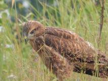 O pássaro é um busardo no selvagem Foto de Stock