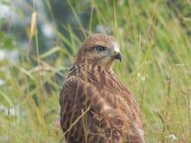 O pássaro é um busardo no selvagem Foto de Stock Royalty Free