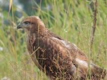 O pássaro é um busardo no selvagem Imagem de Stock