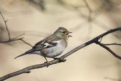 O pássaro é um tentilhão fêmea que canta na floresta na mola Imagens de Stock