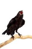 O pássaro Foto de Stock