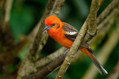 O pássaro alaranjado Chama-coloriu o Tanager, bidentata do Piranga, Savegre, Costa Rica fotos de stock royalty free