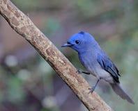 O pássaro azul chamou o monarca naped Preto que senta-se em uma vara foto de stock