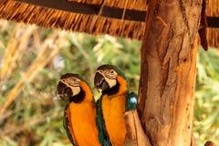 O pássaro azul e amarelo da arara chamou o ararauna de Aro Imagem de Stock