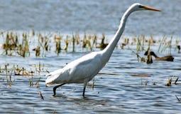 O pássaro branco. Fotos de Stock