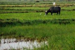 O pássaro branco da cegonha voa do touro da mula em um lustre cercado campo Foto de Stock
