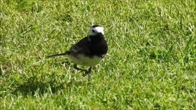 O pássaro britânico do pardal do dunnock empoleirou a forragem para o alimento filme
