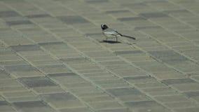 O pássaro cinzento pequeno é de passeio e comendo no brickland filme