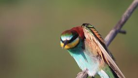 O pássaro colorido bonito canta o assento em um ramo vídeos de arquivo