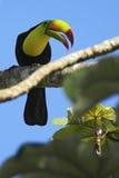 O pássaro com conta grande Quilha-faturou o tucano, sulfuratus de Ramphastos, sentando-se no ramo com céu azul, México Imagem de Stock
