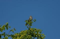 O pássaro da estamenha de milho (citrinenella de Ernberiza) canta Foto de Stock Royalty Free