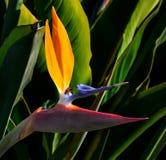 O pássaro da flor e da abelha de paraíso para trás iluminou o close up foto de stock