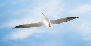 O pássaro da gaivota com fundo do céu azul fotografia de stock
