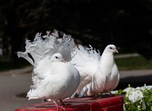 O pássaro da pomba é um símbolo do amor e da lealdade no quadrado em Kemerovo em Rússia fotografia de stock royalty free