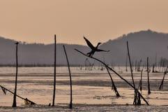 O pássaro da silhueta está voando no tempo do por do sol no lago Fotografia de Stock Royalty Free