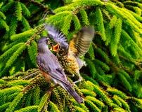 O pássaro de bebê com fome abre largamente o querer do alimento Foto de Stock Royalty Free