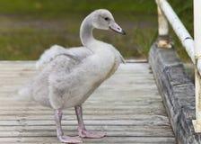 O pássaro de bebê de uma cisne na amarração imagem de stock royalty free