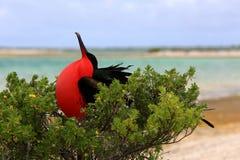 O pássaro de fragata masculino está procurando uma fêmea Imagem de Stock Royalty Free