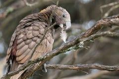 O pássaro de Kaka empoleira-se no ramo com a pena em seu bico Fotografia de Stock Royalty Free
