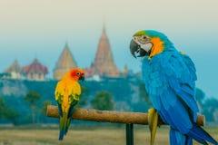O pássaro de Macore empoleirou-se esperando pratique a mosca foto de stock royalty free