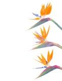 O pássaro de paradize a beira das flores Fotografia de Stock Royalty Free