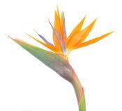 O pássaro de paradize a flor Fotografia de Stock Royalty Free