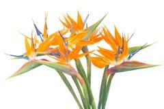 O pássaro de paradize a flor Fotos de Stock