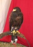 O pássaro de Pray Fotos de Stock Royalty Free