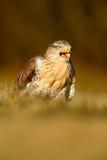 O pássaro de rapina Vermelho-atou o falcão, jamaicensis do Buteo, retrato com conta aberta com o habitat borrado no fundo Fotos de Stock Royalty Free