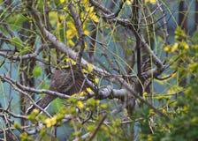 O pássaro desce nos emaranhados de uma árvore Fotos de Stock