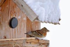 O pássaro do Brambling com a semente de girassol em seu bico Fotos de Stock Royalty Free