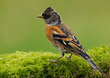 O pássaro do Brambling (montifringilla do Fringilla) Imagem de Stock Royalty Free