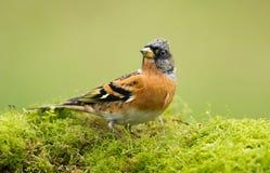O pássaro do Brambling (montifringilla do Fringilla) Fotos de Stock