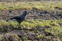O pássaro do cedro está na grama do outono e olha-o imagem de stock royalty free