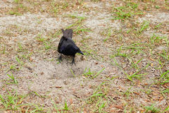 O pássaro do corvo está escavando um furo Imagens de Stock